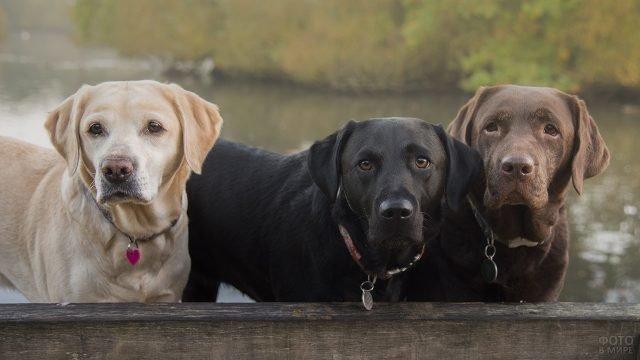 Три собаки внимательно смотрят