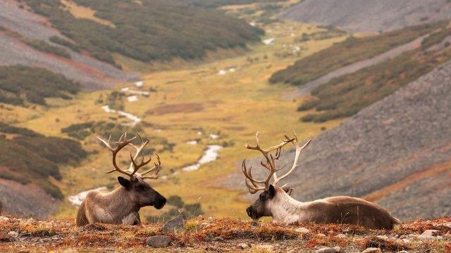 Камчатские олени лежат на горном склоне