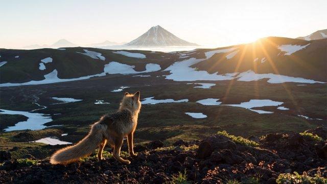 Лиса встречает рассвет в горах Камчатки