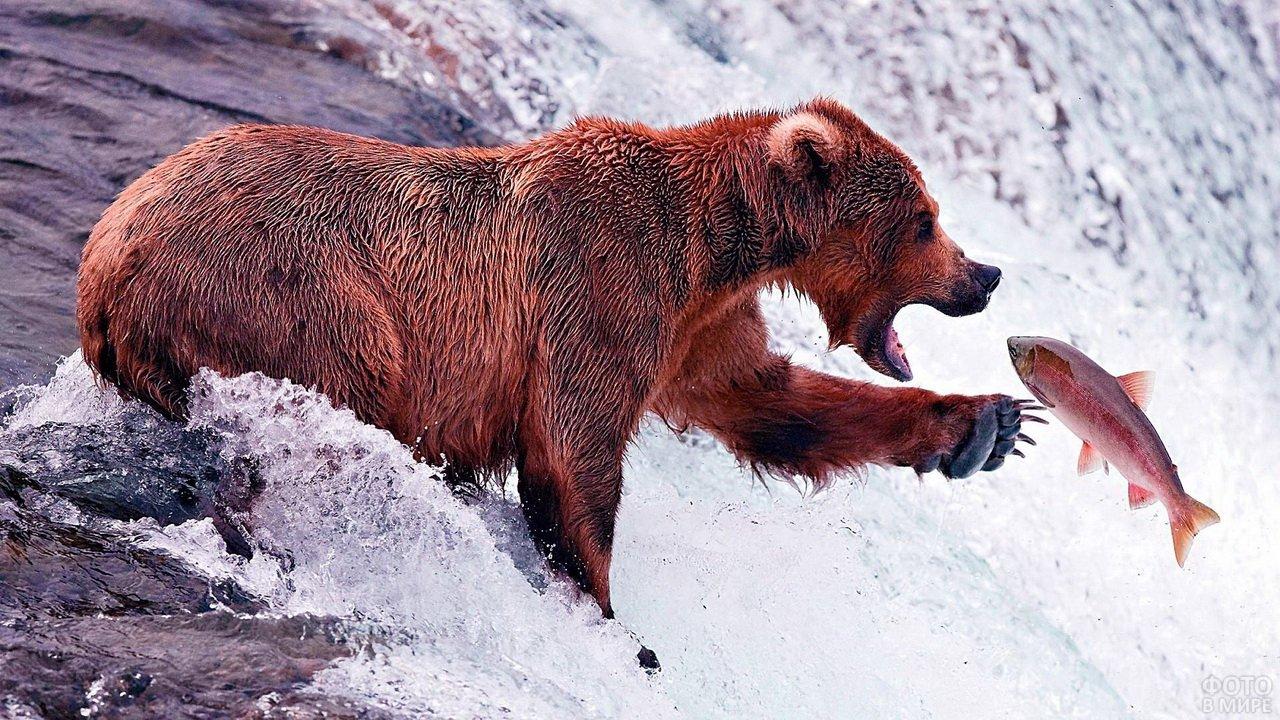 Медведь ловит рыбу в камчатской реке