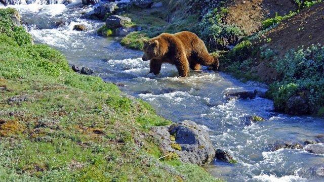 Медведь переходит через быстрый ручей