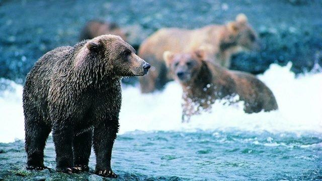 Медведь стоит в реке на Камчатке