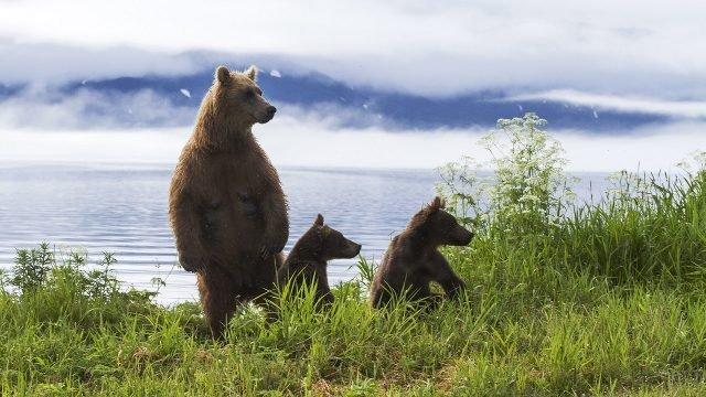 Медведица с медвежатами на берегу камчатского озера