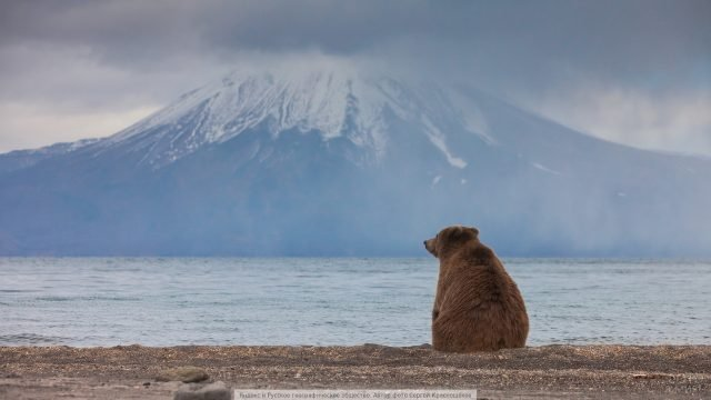Скучающий медведь смотрит на камчатскую гору