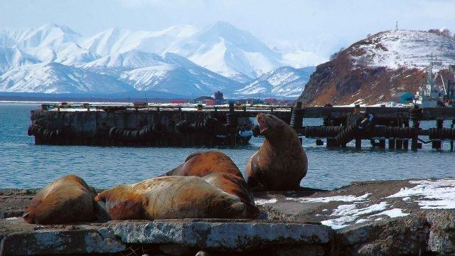 Тюлени на пристани на Камчатке