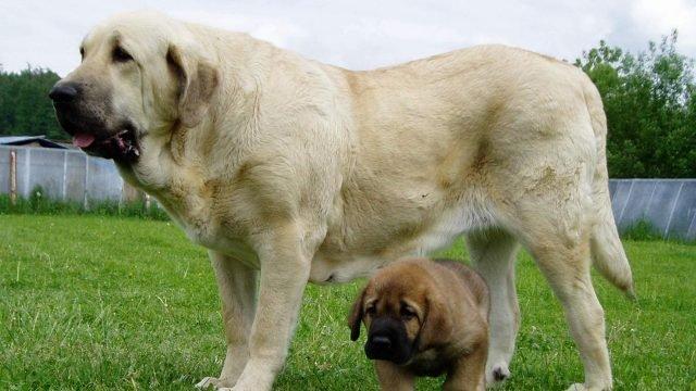 Испанский мастиф с щенком на прогулке