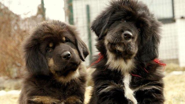Милые щенки тибетского мастифа улыбаются на камеру