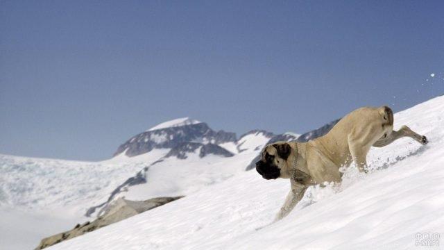 Пёс бежит по горному склону зимой