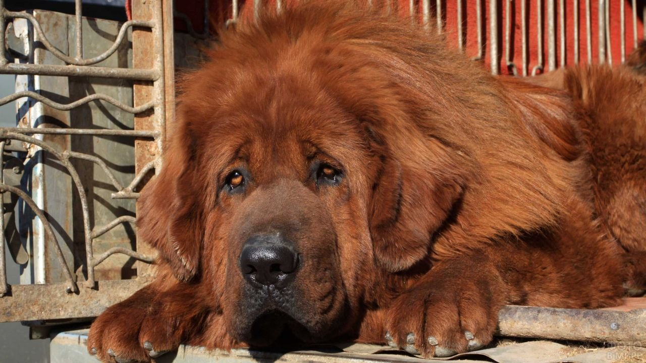 Рыжий тибетский мастиф с грустными глазами