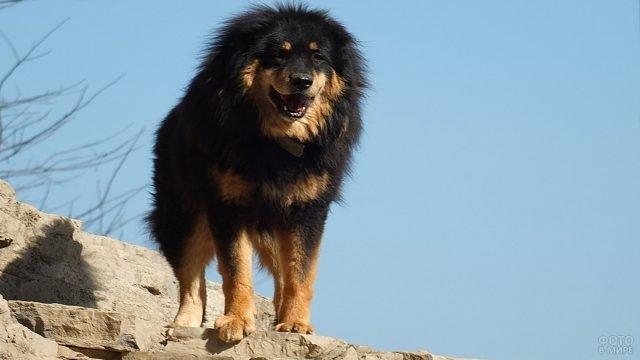 Тибетский мастиф на вершине скал