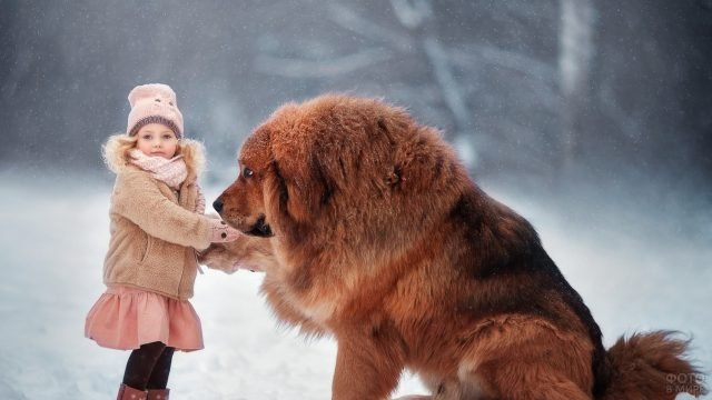 Тибетский мастиф с маленькой девочкой