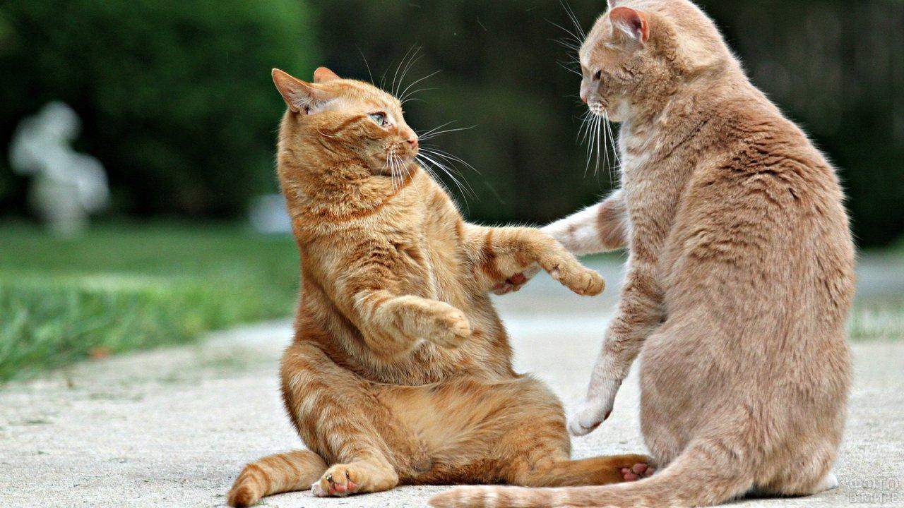 Дерущиеся рыжие коты