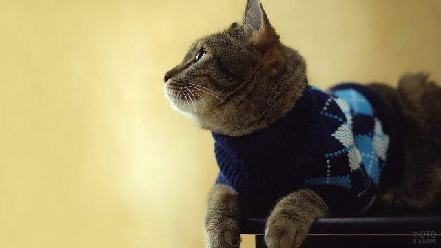 Домашний кот в свитере