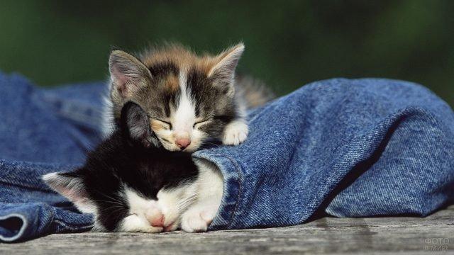 Два котёнка залезли в джинсовку