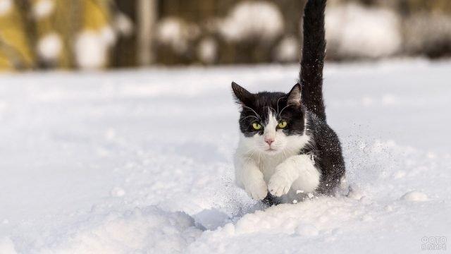 Кошка бежит галопом по снегу
