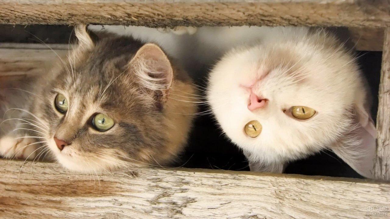 Кошки выглядывают через дыру в заборе