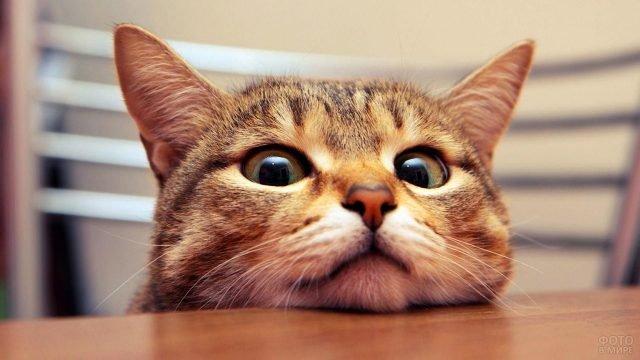 Кот положил морду на стол