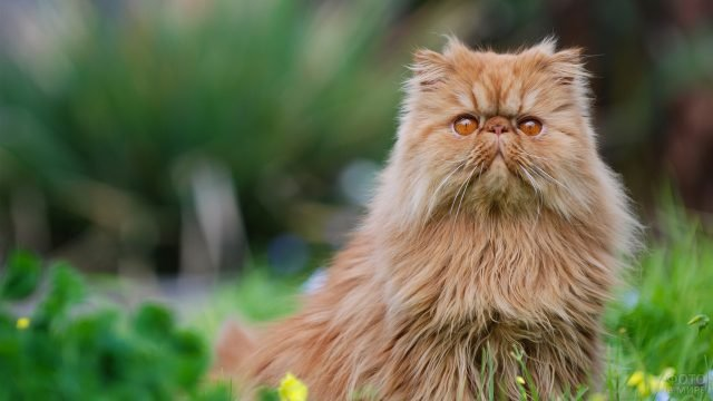 Рыжий кот со смешной мордой