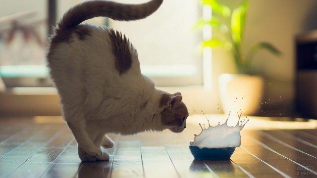 Торможение кота перед миской с молоком