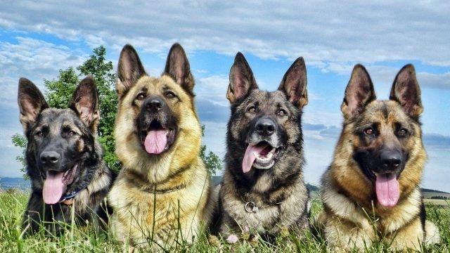 Четыре овчарки лежат на траве на фоне неба