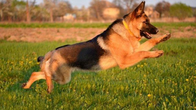 Немецкая овчарка в прыжке
