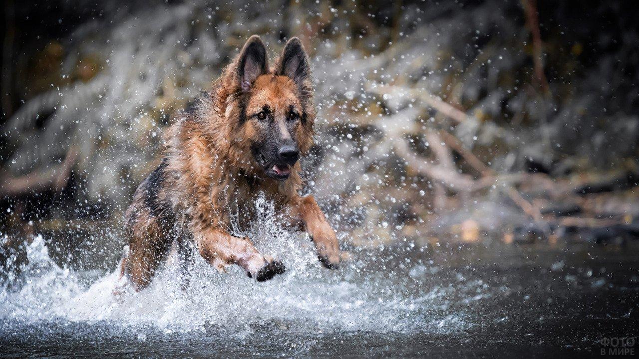 Овчарка бежит на мелководье