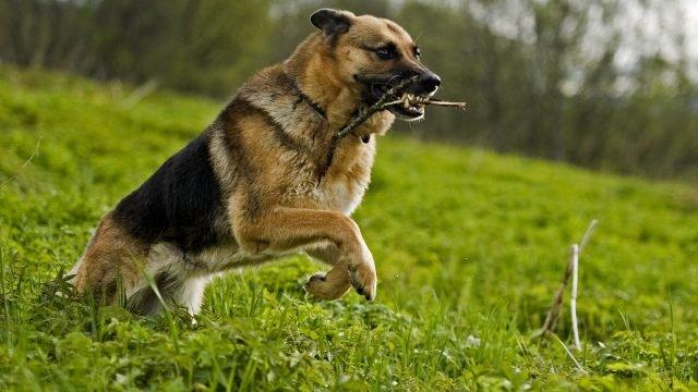 Овчарка несётся с палкой в зубах по траве