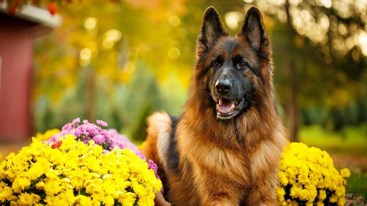 Овчарка среди красивых букетов цветов