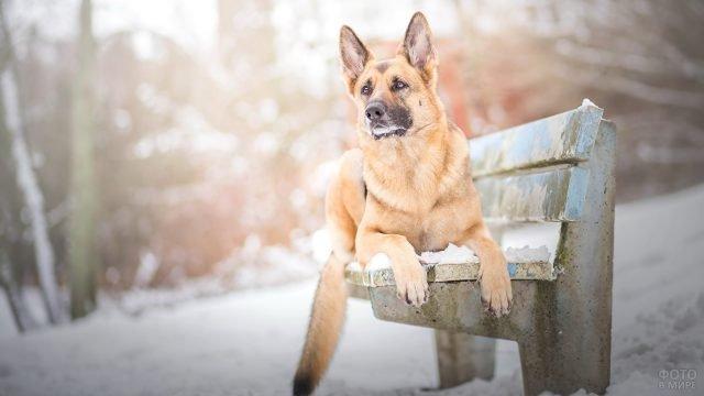 Пёс лежит на скамейке