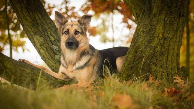 Пёс лежит возле стволов деревьев в лесу