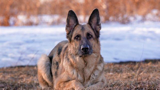 Пёс с внимательным взглядом