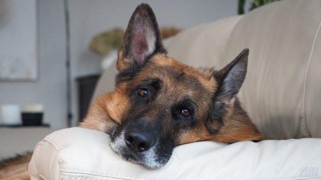 Собака лежит на диване, положив морду на подлокотник