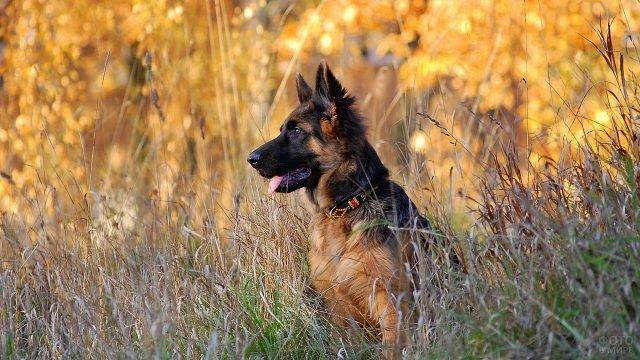 Собака осматривается в высокой траве
