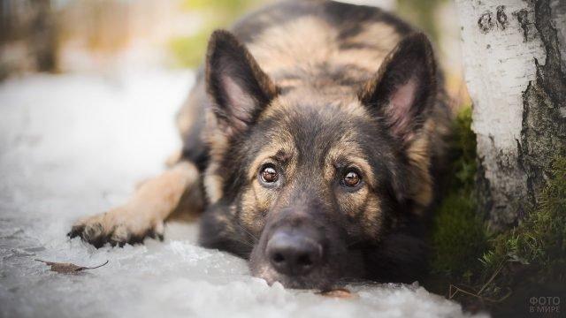 Задумчивый взгляд пса