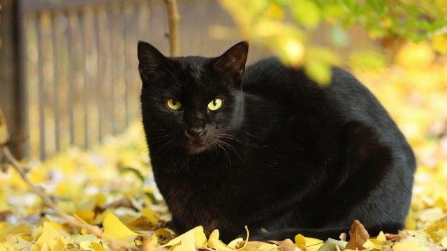 Чёрная киска сидит на осенней листве