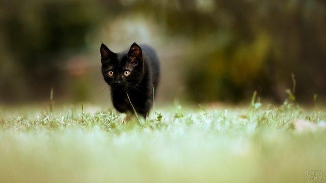 Чёрненький котёнок идёт по траве