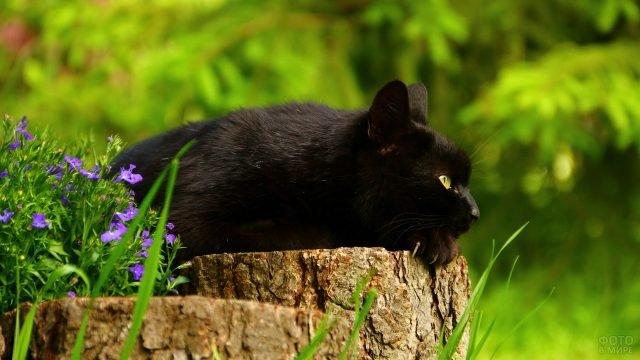 Чёрный кот положил голову на пенёк