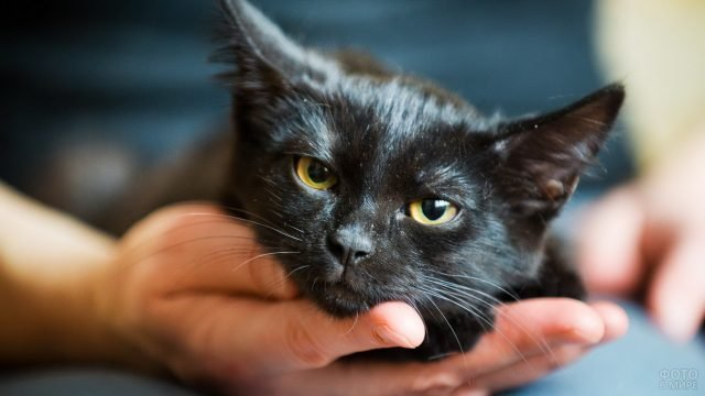 Чёрный котик положил мордочку на руки хозяина