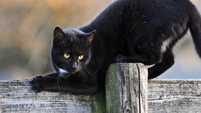 Чёрный котяра потягивается на заборе