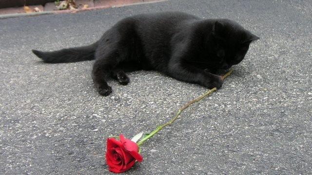 Чёрный котёнок играет с красной розочкой