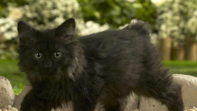 Чёрный котёнок мейн-кун