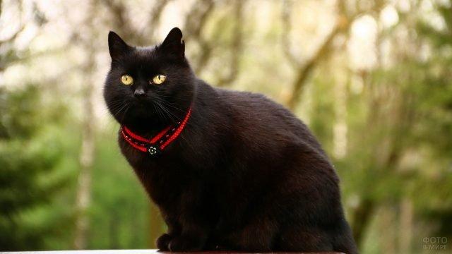 Добротный котяра в красном ошейнике