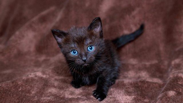 Голубоглазый котёнок на коричневом пледе