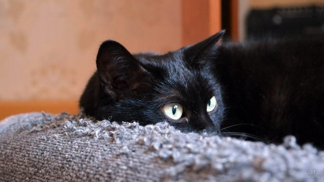 Кошка с задумчивым взглядом