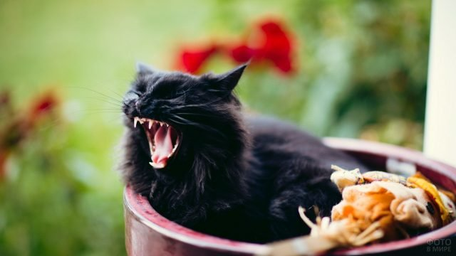 Котёнок зевает