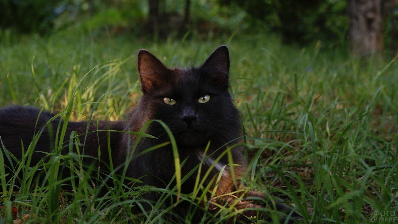 Пушистый чёрный кот сидит в траве
