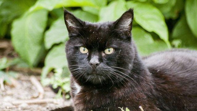 Седой чёрный кот лежит в саду
