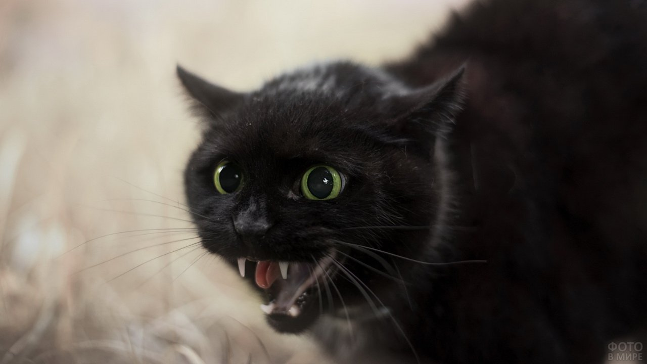 Шипящая чёрная кошка