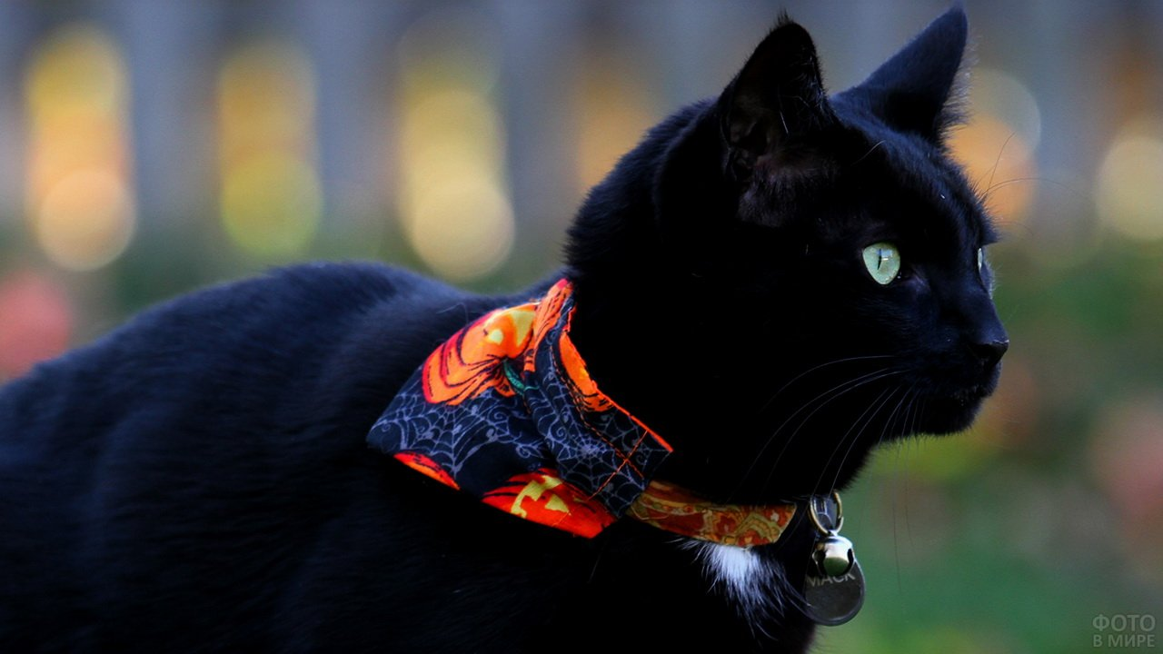 Стильный чёрный кот с цветастым ошейником
