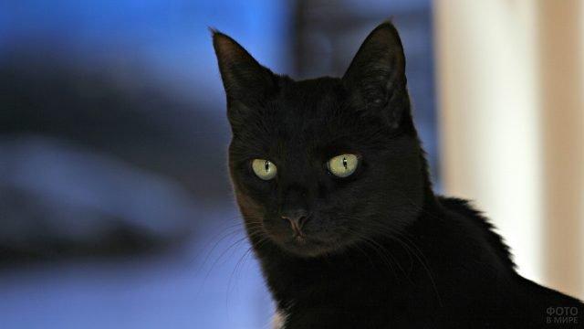 Желтоглазый чёрный кот на синем фоне